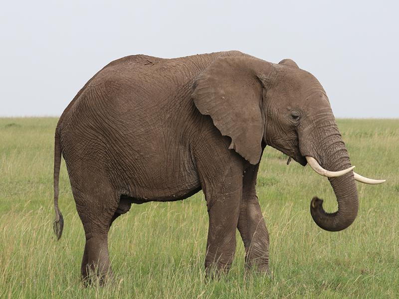 Trivia: Elephants